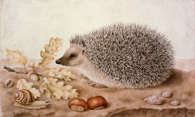giovanna garzoni hedgehog